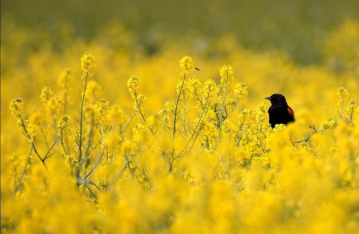 Red-winged Blackbird in Sea of Yello © David Orias