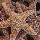 Orange starfish © Dwayne Badua