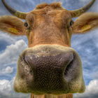 Portrait of a Cow © Pixmil Lexa AM