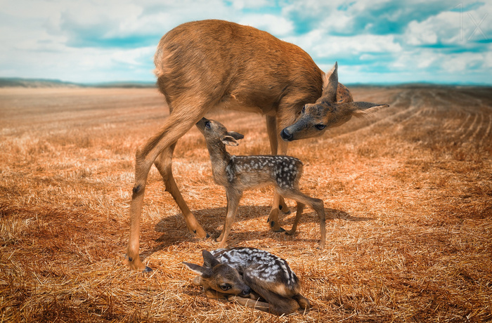 Yet another mother with fawns © John Wilhelm