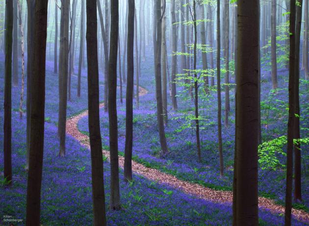 Весна в лесу Халлербос. Бельгия