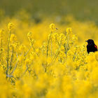 Red-winged Blackbird in Sea of Yello  © David Orias