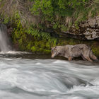 Salmon Fishing Wolf © Nick Kalathas